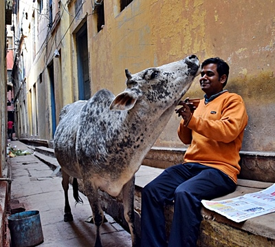 Zetzing mit Kuh